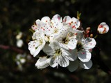 Bouquet of blossom by Si, Photography->Macro gallery
