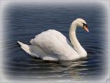elegance is a swan.............. by fogz, Photography->Birds gallery