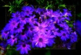 Cineraria by LynEve, photography->flowers gallery