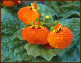 Calceolaria by trixxie17, photography->flowers gallery