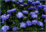 Cubby Blue Asters by trixxie17, photography->flowers gallery