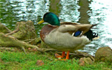 Mallard by JEdMc91, Photography->Birds gallery