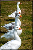 Let's Honkin' Along by corngrowth, photography->birds gallery