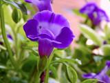 Torenia by trixxie17, photography->flowers gallery