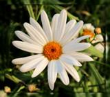 "Shasta Daisy - ""Alaska"" by trixxie17, photography->flowers gallery"