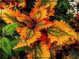 Fall Coleus by trixxie17, photography->nature gallery