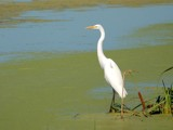 Egret ( 1 ) Revised by gerryp, Photography->Birds gallery