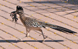 Roadrunner by jeenie11, photography->birds gallery