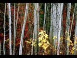 Fall Among the Aspens by photoimagery, Photography->Nature gallery
