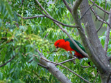 King Parrot by Samatar, Photography->Birds gallery