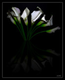 Callas by ccmerino, Photography->Flowers gallery