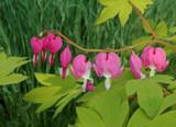 Bleeding Heart by trixxie17, photography->flowers gallery