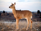 Sweet Deer by yellowdog07, Photography->Animals gallery