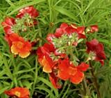 """Sunsatia """"Blood Orange"""" by trixxie17, photography->flowers gallery"""