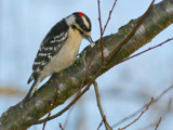 Downy Woodpecker by onespock, Photography->Birds gallery
