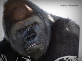 Gorilla by GIGIBL, photography->animals gallery