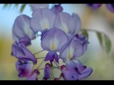 Wisteria by Samatar, photography->flowers gallery
