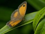 Gatekeeper by pom1, photography->butterflies gallery