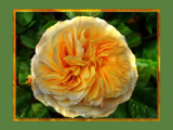 A Golden Rose for John (jswgpb) by LynEve, Photography->Flowers gallery