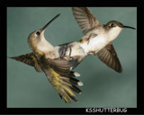 Hummingbird Aerial Dogfight by ksshutterbug, Photography->Birds gallery