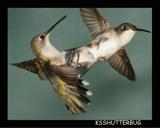 Hummingbird Aerial Dogfight by ksshutterbug, Photography->Birds gallery