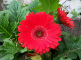 Red Gerbera Daisy by moongirl, Photography->Flowers gallery