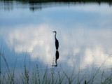 Crane by yellowdog07, Photography->Birds gallery