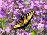The Yellow Swallowtail by tigger3, photography->butterflies gallery
