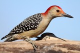 Red bellied woodpecker by egggray, photography->birds gallery
