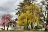 Willow Beauty by verenabloo, Photography->Landscape gallery