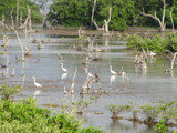 Garzas Blancas en Cienaga Sisal by jvrmax, Photography->Birds gallery