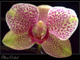 Orchid by boremachine, Photography->Flowers gallery