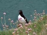 Razorbill by pom1, Photography->Birds gallery