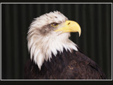 Mr Baldie... by fogz, Photography->Birds gallery