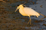 Capped Heron by jeenie11, photography->birds gallery