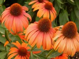 """Julia Child"" Coneflower by trixxie17, photography->flowers gallery"