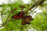 Migrating Monarchs 3 by wheedance, photography->butterflies gallery