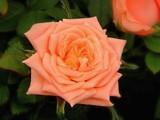 Peach Beauty by trixxie17, photography->flowers gallery