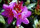 Rhododendron by trixxie17, photography->flowers gallery