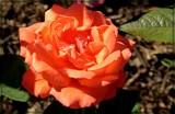 Tropicana Hybrid Tea Rose by trixxie17, photography->flowers gallery