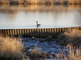 Twin Lakes Dam and Honker by Gergie, Photography->Birds gallery