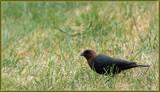 The Cowbird by tigger3, photography->birds gallery