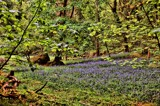 Bluebell Wood by WTFlack, photography->nature gallery