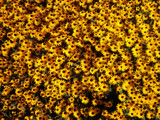 Good morning Rudbeckia by caedes, photography->flowers gallery