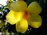 Allamanda at 'Magic Hour' by OrchidLadyLinda, Photography->Flowers gallery