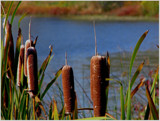 Cattails by dwdharvey, Photography->Landscape gallery