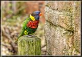 Lorikeet 2 by Jimbobedsel, photography->birds gallery