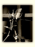 Murderess by Hottrockin, Photography->Flowers gallery