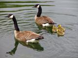 CDN Geese # 16 by dwdharvey, Photography->Birds gallery