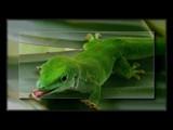 Phelsuma madagascariensisgrandis by LynEve, Photography->Reptiles/amphibians gallery
